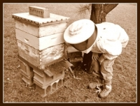 Inspecting the hives on a