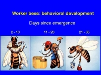 Three Phases in the Honeybee's Life Cycle